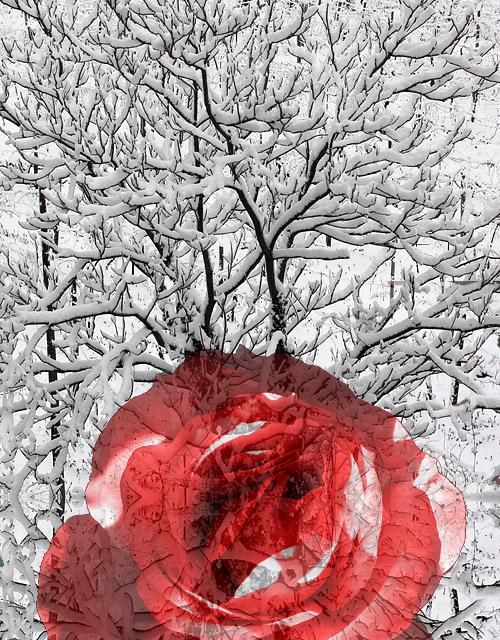 Un albero di neve e una rosa rossa