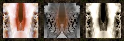 Lambis_f01
